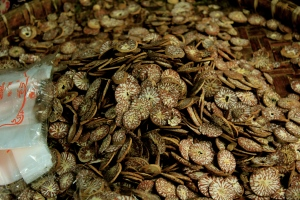 Betel nut – deceptively pretty